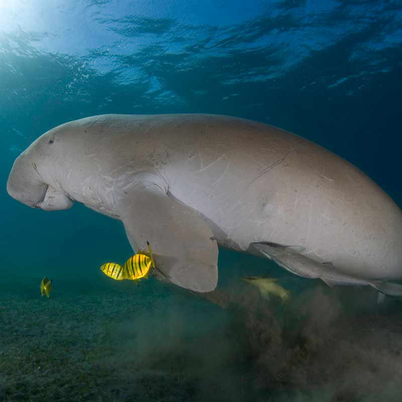 Dugong and fishes