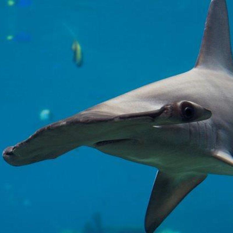 Corporate shark