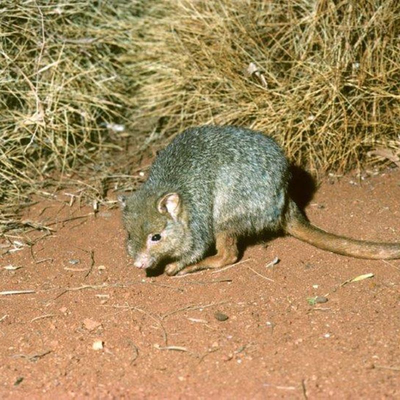 Burrowing Bettong